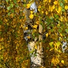 autumn leaves of birch tree
