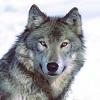 pochemu-volki-ne-vystupayut-v-cirke
